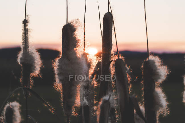 Камыш с пухами растет в поле на закате — стоковое фото