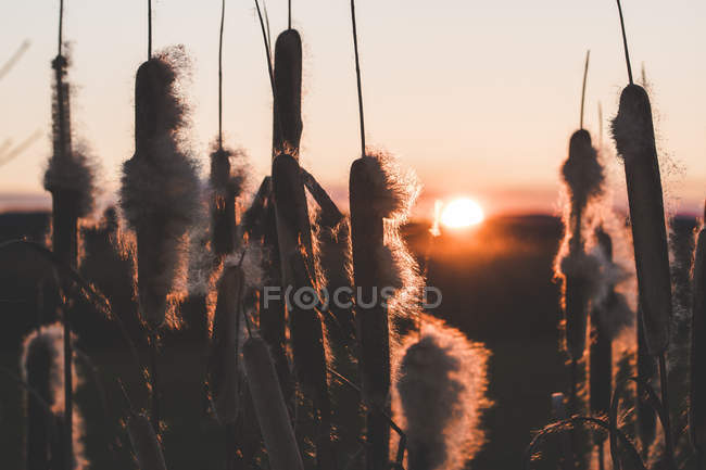 Reeds with fluffs growing in field at sunset — Stock Photo