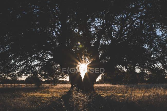 Grand arbre vert sur le terrain en été contre-éclairé — Photo de stock