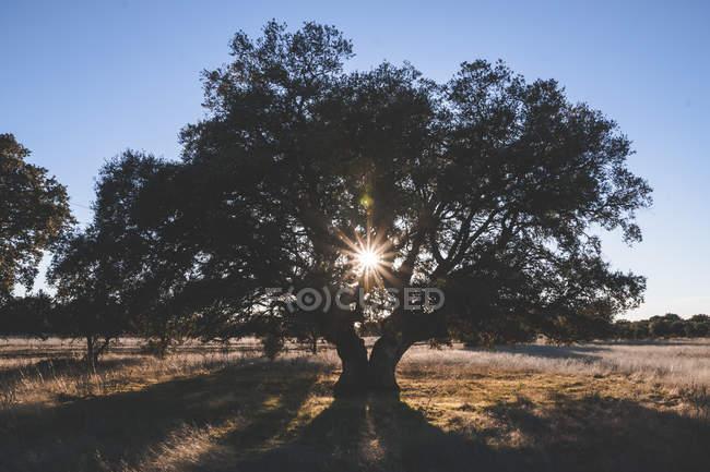 Grand arbre vert sur le champ en été contre-éclairé sous le ciel bleu — Photo de stock