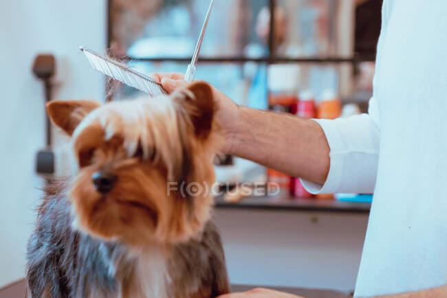 Cosecha peluquero perro dando corte de pelo a poco Yorkshire Terrier en salón moderno - foto de stock