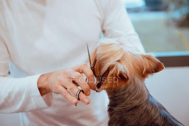 Хутро маленької собачки підстриглося. — стокове фото