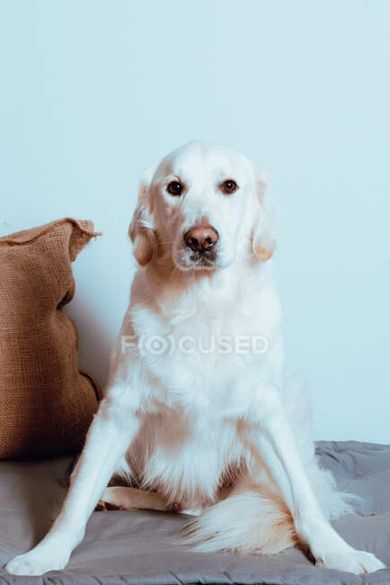 Big white Labrador looking at camera — Stock Photo