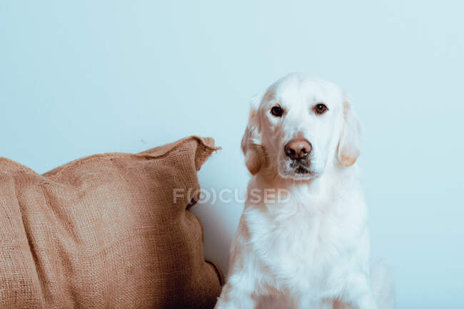 Beautiful domestic purebred Labrador with white fur looking at camera indoors — Stock Photo
