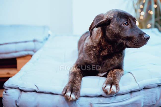 Dog lying on floor — Stock Photo
