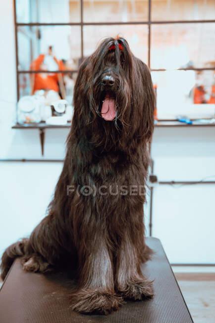 Волосатий собака на темному столі. — стокове фото