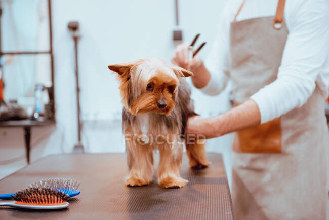 Crop groomer trimming fur of little dog — Stock Photo