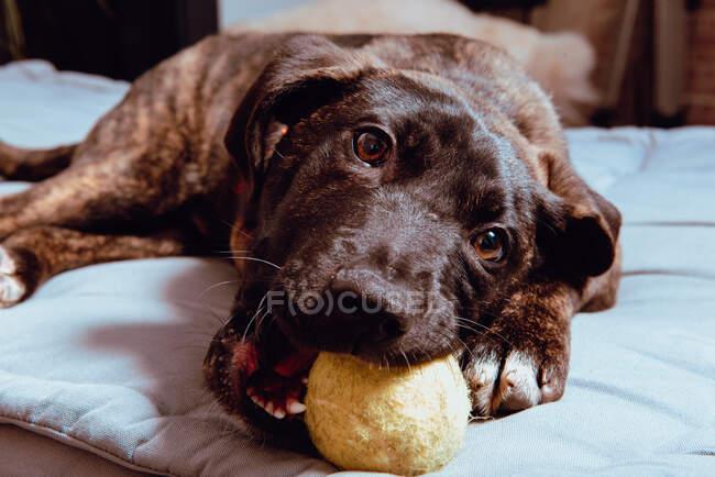 Encantador perro juguetón con pelota - foto de stock