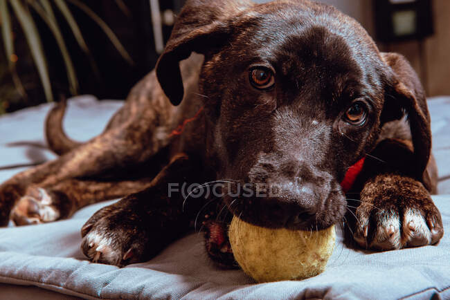 Closeup of adorable black young dog biting ball while sitting on bedding — Stock Photo
