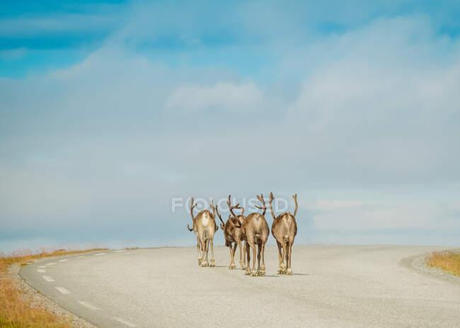 Вид на группу северных оленей, идущих вместе по асфальтированной дороге против голубого неба, Финляндия — стоковое фото