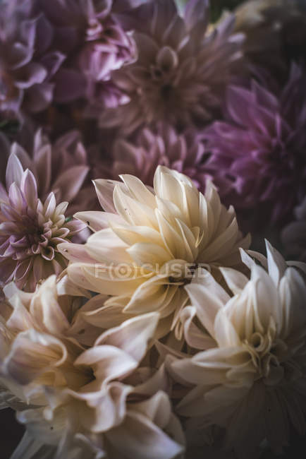 Bunch of fresh white chrysanthemums on blurred background — Stock Photo