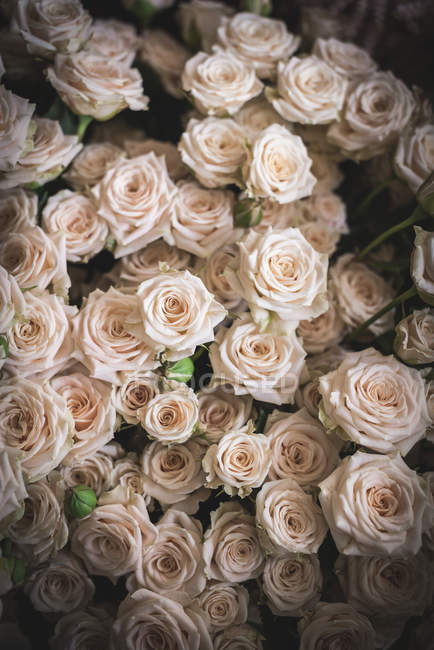 Bouquet of many fresh soft pink rose — Stock Photo