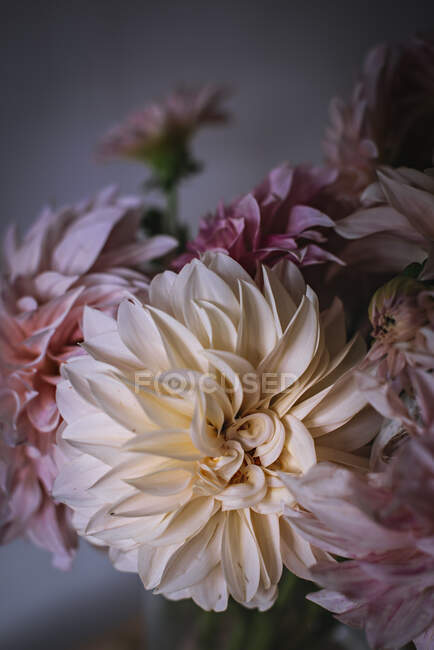 Closeup bunch of beautiful fresh pink chrysanthemums on blurred background — Stock Photo