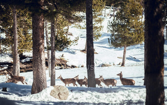 Herd of wild deer on snow in winter forest in sunny day in Les Angles, Pirenei, Francia — Foto stock