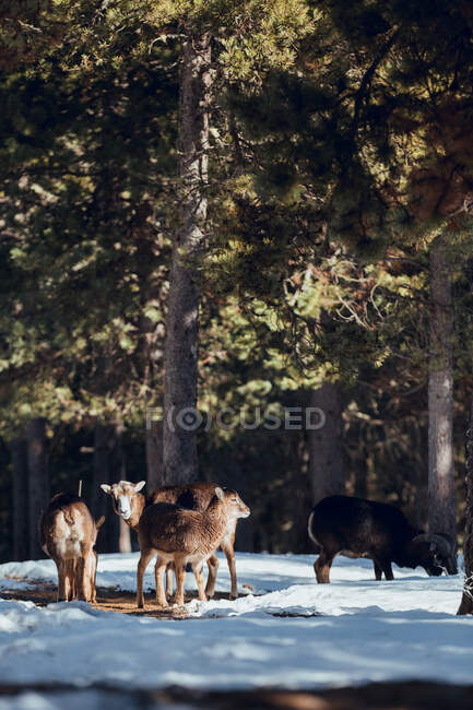 Herd of wild sheep pasturing in winter forest in sunny day in Les Angles, Pyrenees, France — Stock Photo