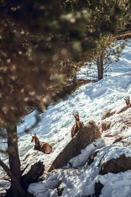 Стадо диких коз пасущихся на горе возле зимнего леса в солнечный день в Les Angles, Пиренеи, Франция — стоковое фото