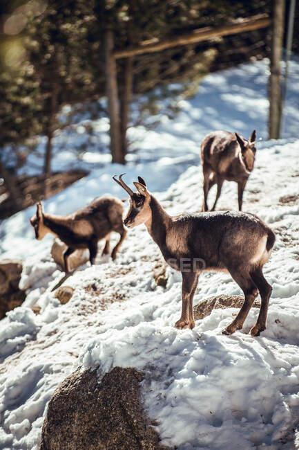 Вид сбоку на стадо диких коз, пасущихся на горе рядом с зимним лесом в солнечный день в Ле-Англь, Пьес, Франция — стоковое фото