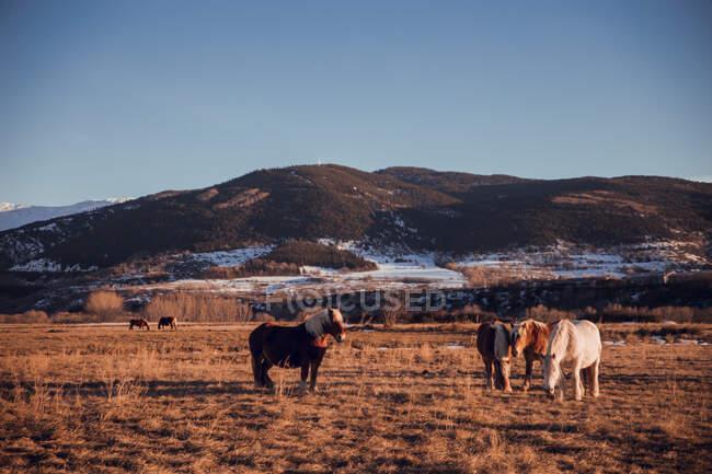 Vista laterale di bellissimi cavalli che pascolano sul prato tra le montagne al tramonto a Cerdanya, Francia — Foto stock