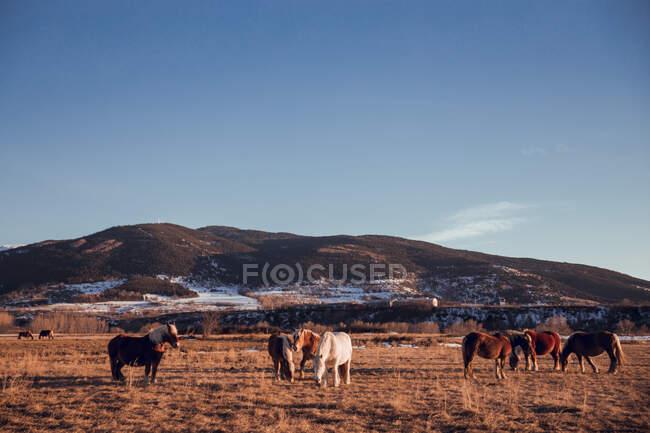 Seitliche Ansicht von schönen Pferden auf der Weide zwischen Bergen bei Sonnenuntergang in Cerdanya, Frankreich — Stockfoto