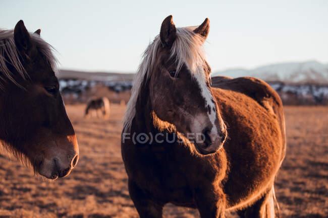 Vue latérale de beaux chevaux pâturant sur la prairie entre les montagnes au coucher du soleil à Cerdanya, France — Photo de stock