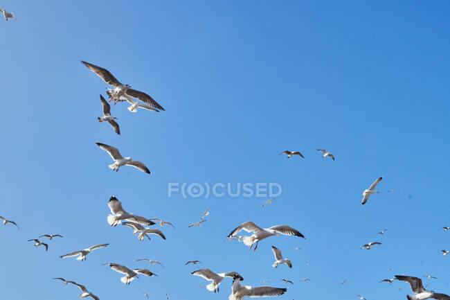 Dal basso stormo di gabbiani bianchi che volano in cielo blu senza nuvole a Essaouira, Marocco — Foto stock
