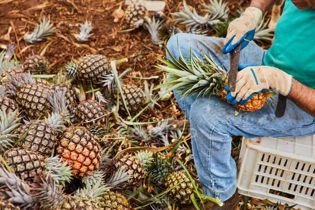 Vista delle colture dell'uomo anziano che lavora sulla piantagione e taglia foglie verdi di ananas — Foto stock