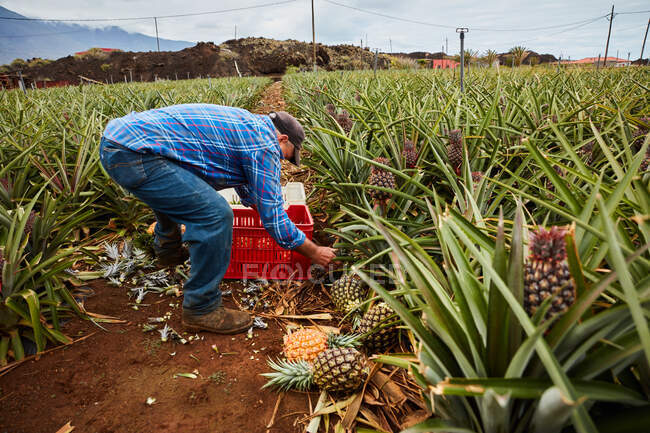 Man working on tropical farmland and gathering ripe pineapples in plastic containers, Canary Islands — Stock Photo