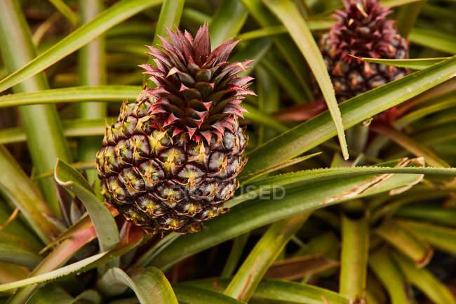 Тропические зеленые кусты с созревающими ананасами на плантации — стоковое фото