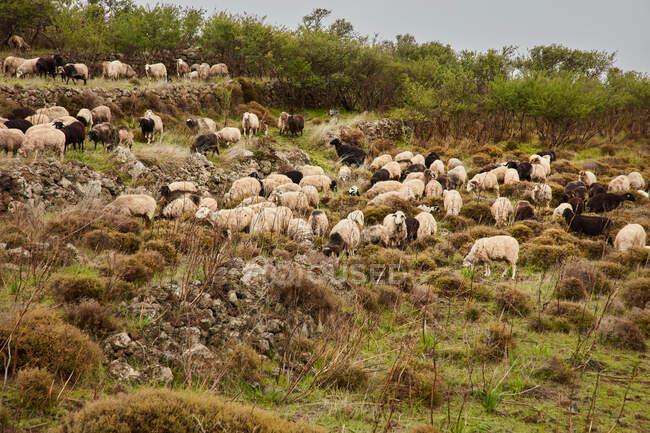 Вид сбоку корова пасущаяся на зеленом лугу красивого горного поля против облачного неба, Канарские острова — стоковое фото