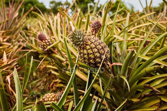 Cespugli verdi tropicali con ananas maturati in piantagione — Foto stock