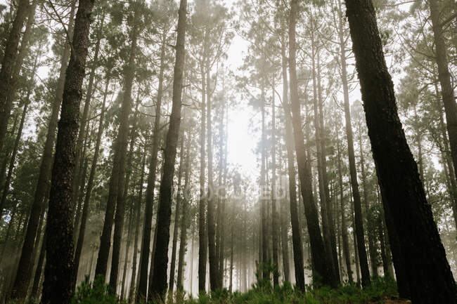 View to forest with tall tree trunks covered with moss — Stock Photo