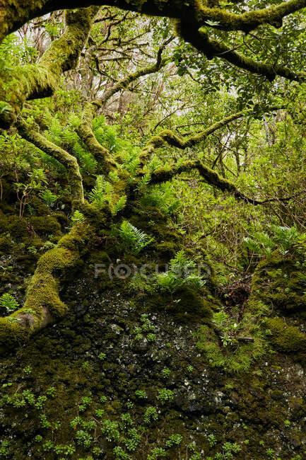 Пейзаж красивой зеленой листвы и мхов в тропическом лесу, Канарские острова — стоковое фото
