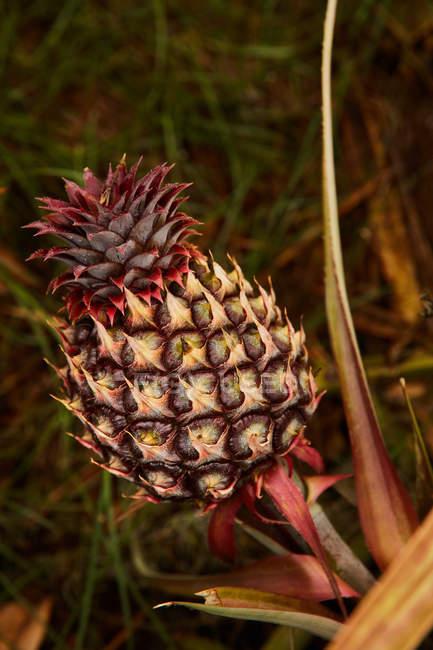 Тропический созревающий ананас растет на плантации — стоковое фото