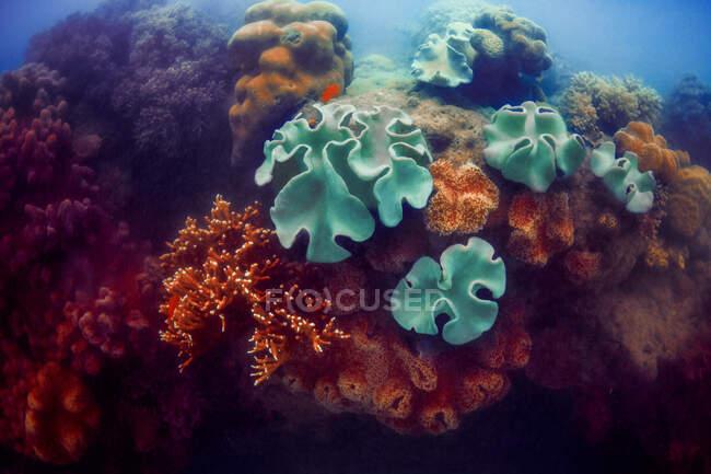 Corales verdes y rojos en aguas profundas del océano azul - foto de stock