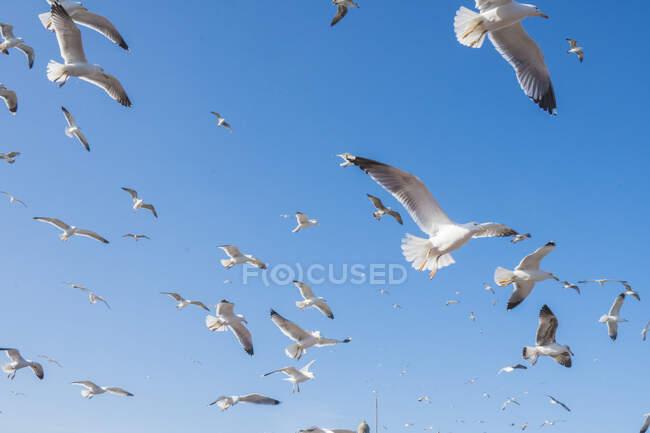 Знизу отара білих морських чайок летить у безхмарному синьому небі в Ессуйрі (Марокко). — стокове фото