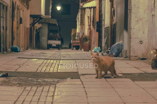 Drôle de chats domestiques dans la rue entre les bâtiments le soir à Marrakech, Maroc — Photo de stock