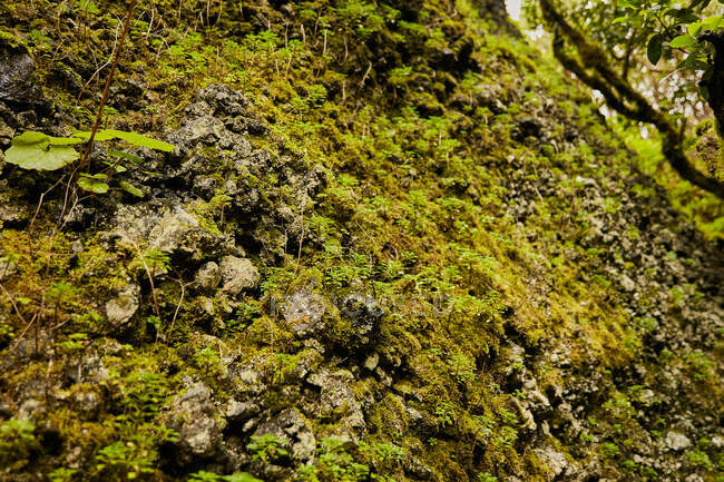 Beautiful green foliage mossy wall in tropical forest, Canary Islands — Stock Photo