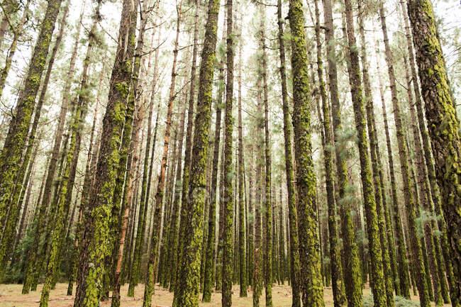 Вид на лес с высокими стволами деревьев, покрытыми мхом — стоковое фото