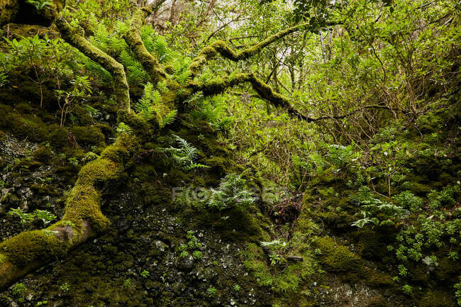 Landscape of beautiful green foliage and mossy trees in tropical forest, Canary Islands — Stock Photo