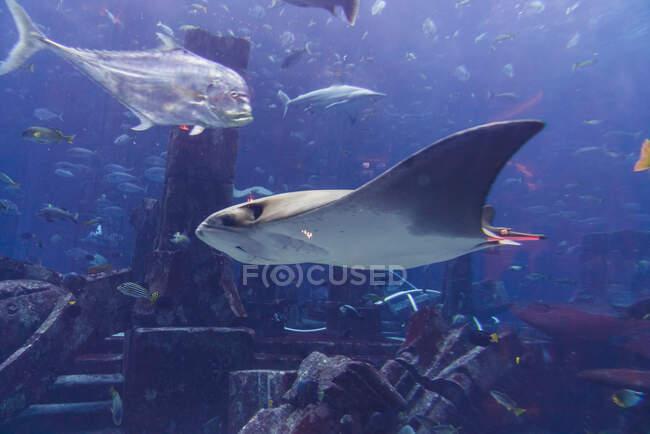 Varios peces en acuario grande - foto de stock