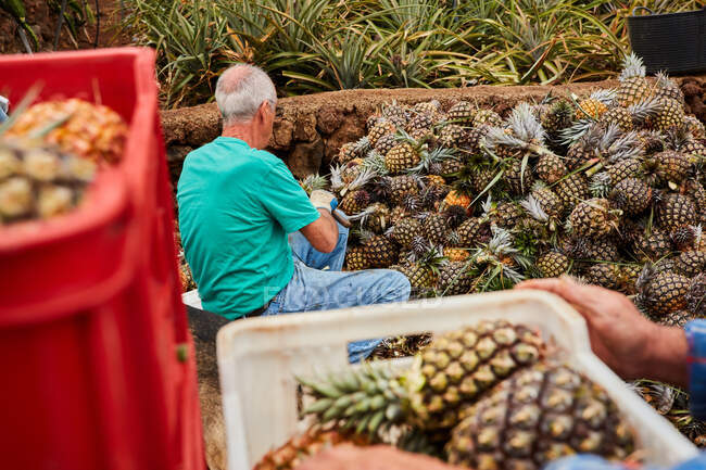 Crop back view of senior man working on plantation and cutting green leaves off pineapples — Stock Photo