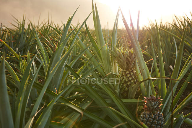 Tropical green bushes with ripening pineapples on plantation at sunset — Stock Photo