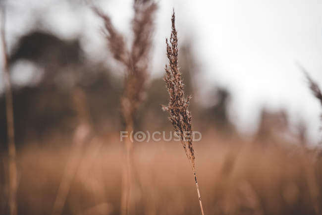 Closeup of dry plants with thin stems growing on meadow on blurred background — Stock Photo