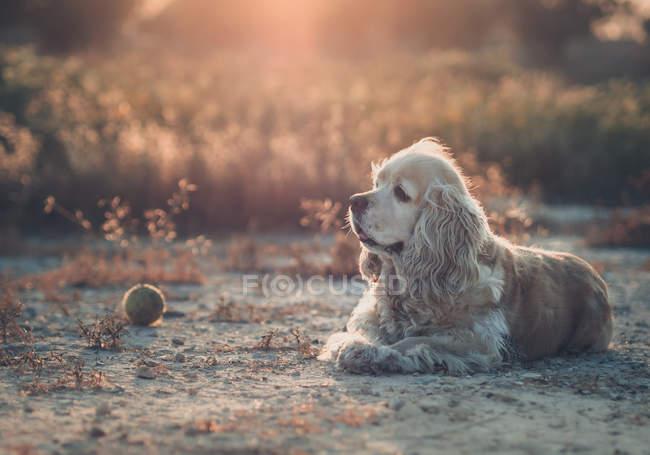 Cão americano engraçado do spaniel de Cocker que encontra-se na terra entre plantas no por do sol — Fotografia de Stock