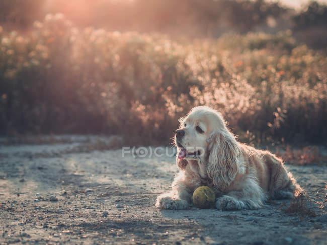 Chien drôle d'Épagneul Cocker américain se trouvant sur le sol entre les plantes au coucher du soleil — Photo de stock