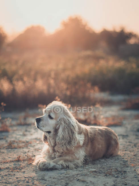 Cute american cocker spaniel dog lying on ground at sunset — Stock Photo