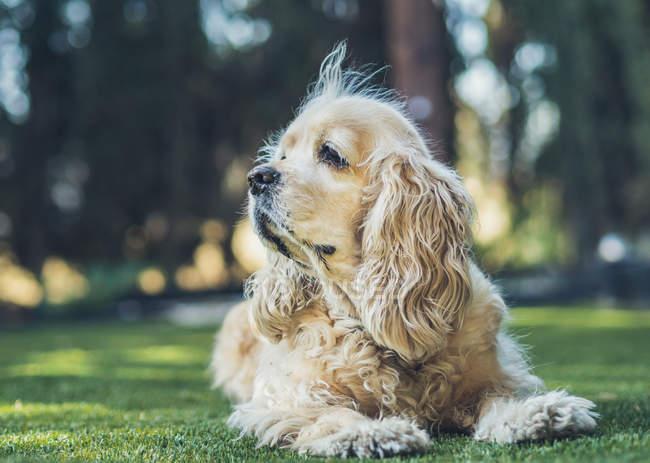 Cão americano engraçado do spaniel de Cocker que encontra-se no gramado verde e vista afastado — Fotografia de Stock