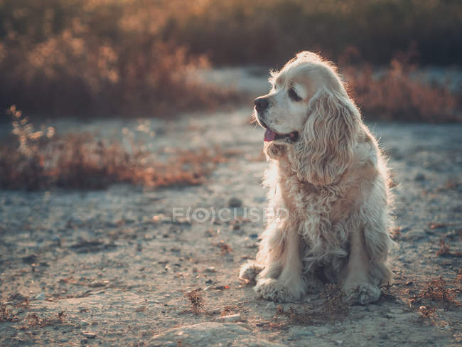 Cute american cocker spaniel dog sitting on ground at sunset — Stock Photo