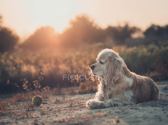 Funny american cocker spaniel dog lying on ground between plants at sunset — Stock Photo