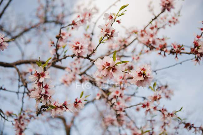 Primo piano di ramoscello di fioritura albero di frutta sullo sfondo di cielo sfocato — Foto stock